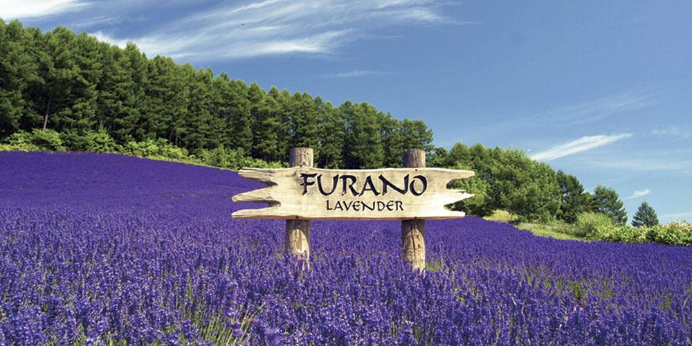 Cánh đồng hoa Oải Hương ở Furano
