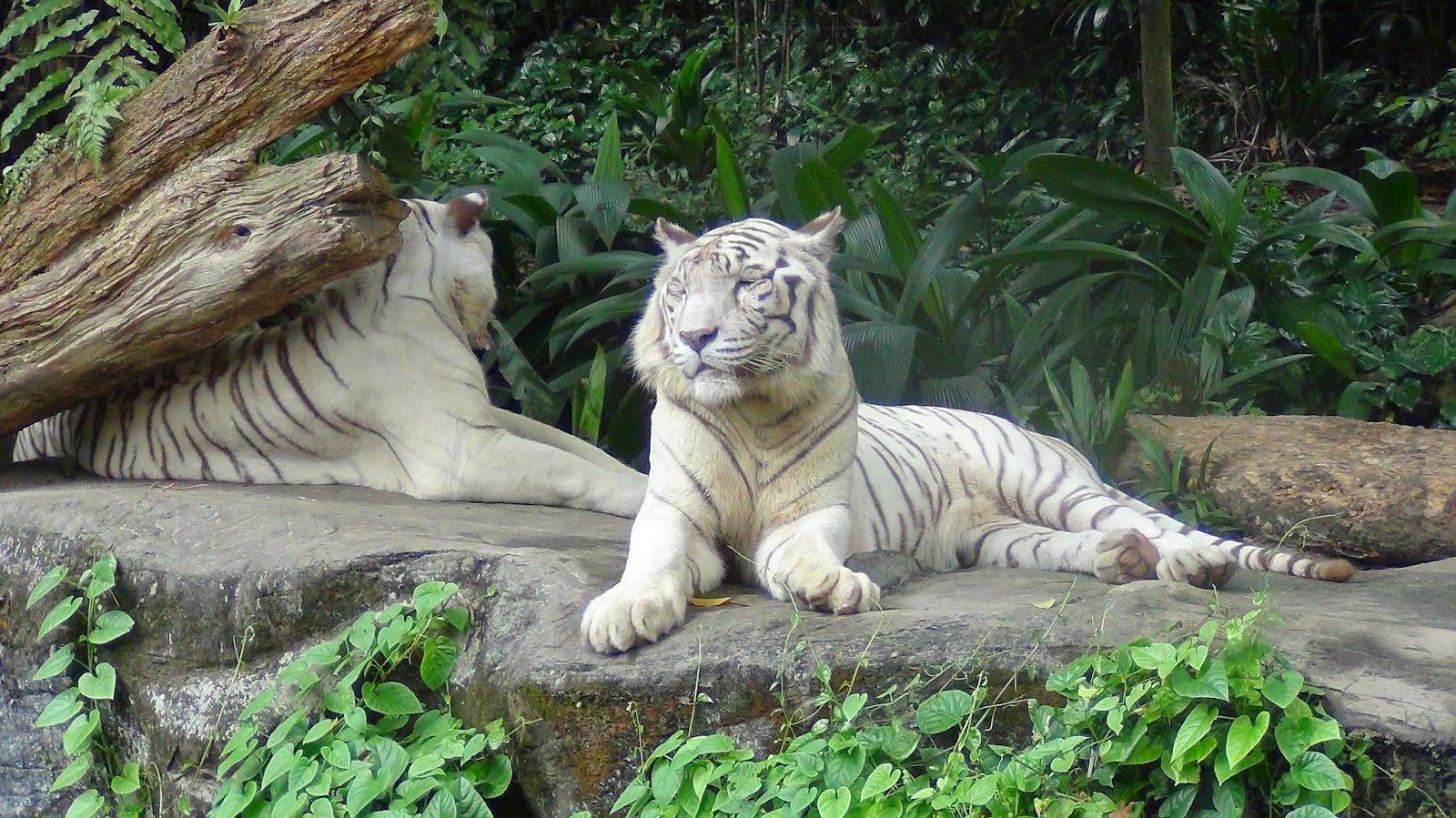 Hổ trắng tại vườn thú Singapore