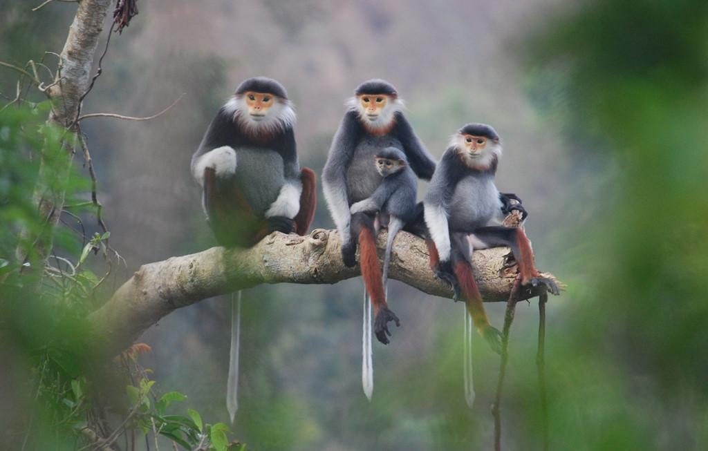 Voọc chà vá chân nâu tại bán đảo Sơn Trà