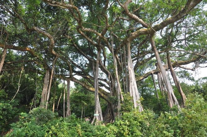 cây đa ngàn tuổi Sơn Trà